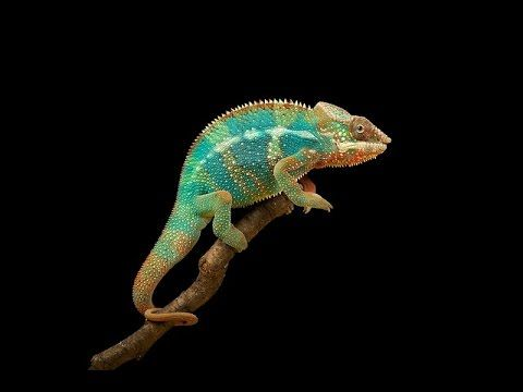 Bukalemunun renk değiştirme sırrı yaratılışında gizli
