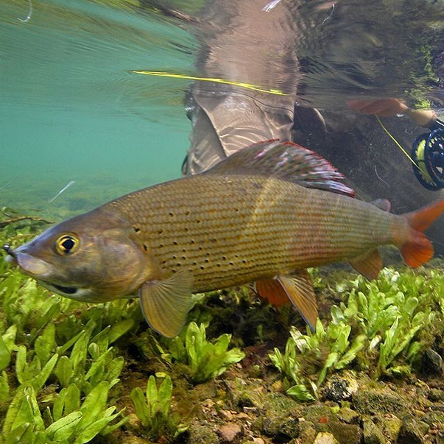 Grayling One Of The Most Beautiful Fresh Water Fish You Can Catch On The Fly Grayling Thymallusthymallus Asche Aesche U Freshwater Fish Fly Fishing Fish