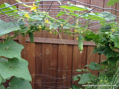 Cucumbers hanging down from arched trellis
