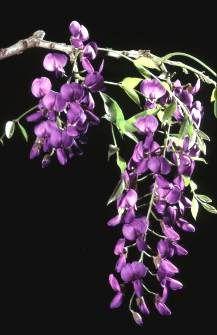 Bolusanthus Speciosus    Flowers        Tree Wistaria           Vanwykshout        4-7 m       S A no 222