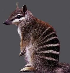 Australian numbat: my son's most favourite aussie mate. #animals Hashtags: The #Maj #endangered