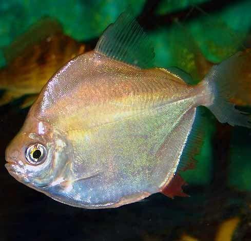 Best 25 oscar fish ideas on pinterest for What is an oscar fish
