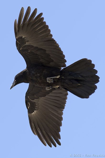 Raven flying. Oval tips on feathers
