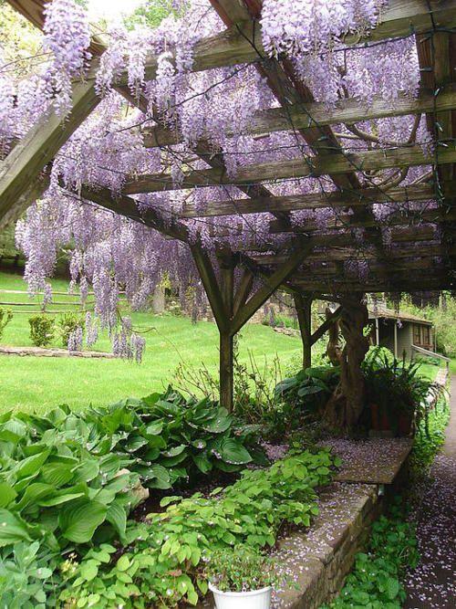 wisteria & laburnum