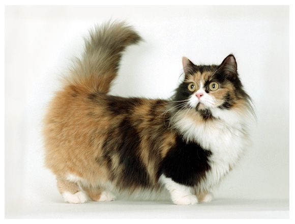 Dwarf Cat Breeds Cute Cats Pictures Munchkincat Munchkin Cat Dwarf Cat Cat Breeds