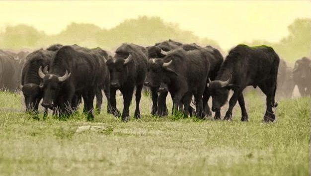 Κερκίνη: «Σήμα κατατεθέν» το βουβάλι