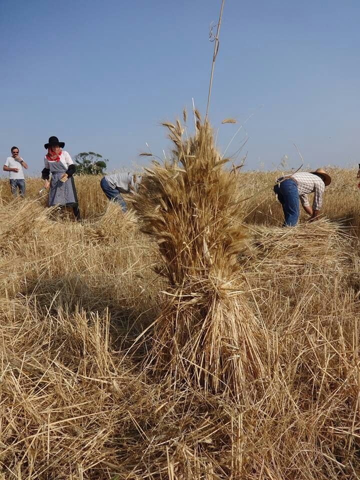 harvesting the old fashioned way in Entradas, Alentejo- Portugal