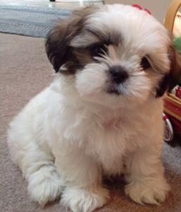 OMG Pomeranian Shih Tzu mix. This is my dream pet!