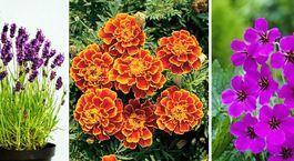 11 illatos növény, amik segítenek távol tartani a szúnyogokat