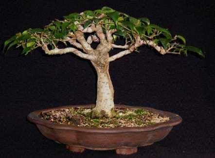 Ficus Techniques :12 - Time