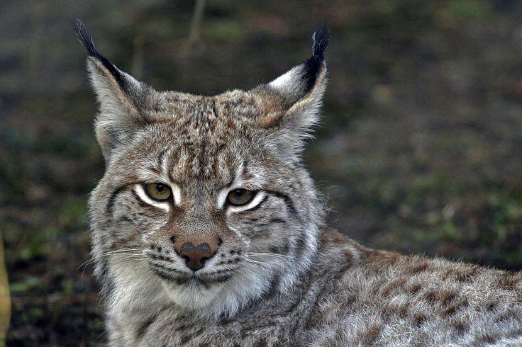 Eurasian lynx | Eurasischer Luchs // Eurasian Lynx (Lynx lynx)