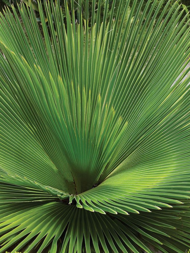421 best Palm images on Pinterest | Palm trees, Palms and Plants