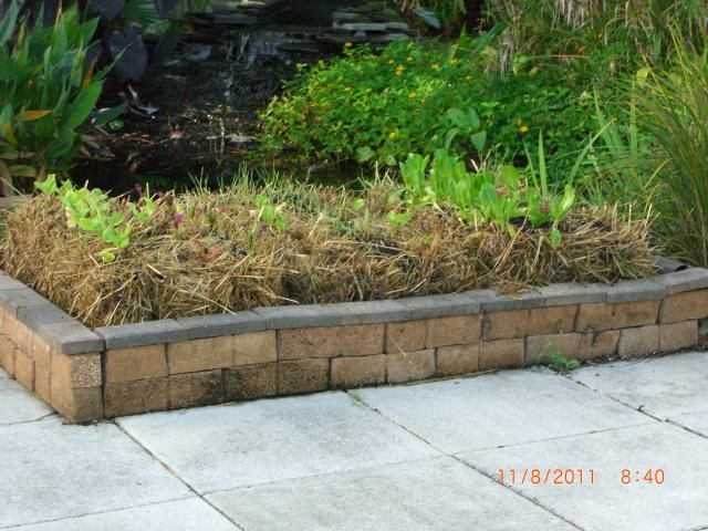 My Straw Bale Garden At 4 Weeks, Flowers, Gardening, The Greens On The Side  Of The Koi Pond