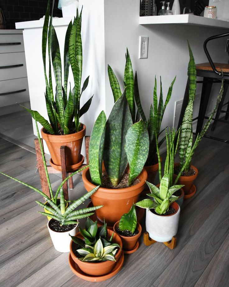"""The graphic designer in me is screaming """"Sans-evieria""""should be its own type fac. The graphic designer in me is screaming """"Sans-evieria""""should be its own type face. Just look at all the shapes and forms this amazing plant… Source by. Succulents Garden, Garden Plants, Indoor Plants, Planting Flowers, Hanging Plants, Porch Plants, Greenhouse Plants, Garden Beds, Garden Types"""
