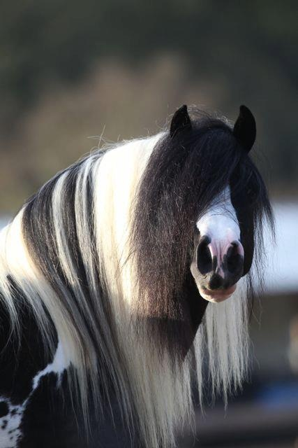 GVR Pilot-Gypsy Vanner stallion