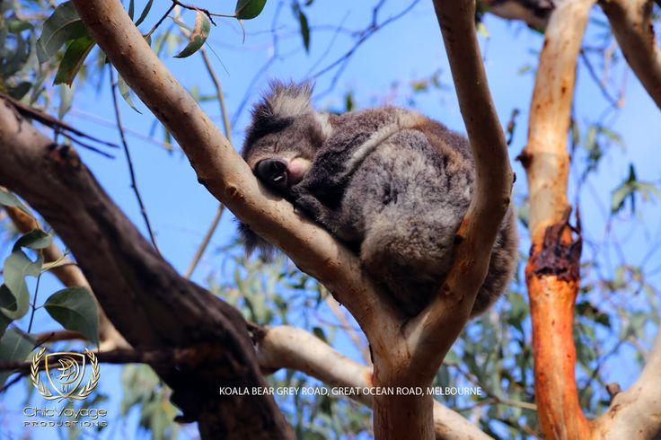 a sleeping koala on grey road, great ocean road  http://chicvoyageproductions.com/travel-photos-for-sale-melbourne/