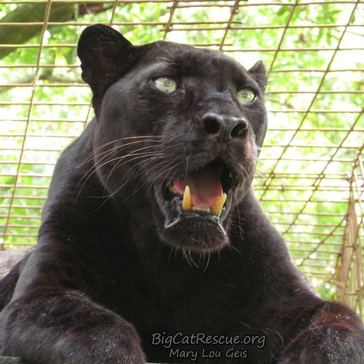 Black jaguar roar #black #jaguar , schwarzer jaguar ...