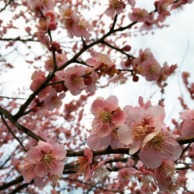 【cate71405】さんのInstagramをピンしています。 《Two 70 degree days in Washington DC in February and the #cherryblossoms start blooming 🌸but it's supposed to ❄️tomorrow... #isitspring #crazyweather》
