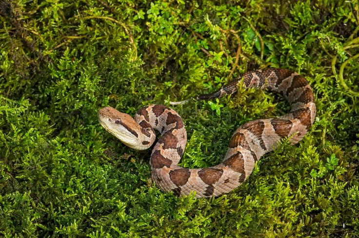 Jumping Pitviper - Jumping Pitviper  Mano de piedra real  ( Atropoides mexicanus)  son un género de serpientes venenosas,Estas serpientes pueden estar activas tanto de día como de noche. Por otra parte, las poblaciones encontradas en altitudes más altas parecen activas sólo durante el día