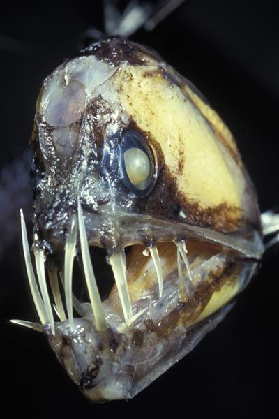 17 best images about animals monsters of the deep on for Freshwater fish with teeth