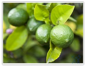 Limes are allied to the lemon, but much smaller, and they grow year-round. They are high in vitamin C (though not as high as lemons). In cooking, lime is valued both for the acidity of its juice and the floral aroma of its zest.