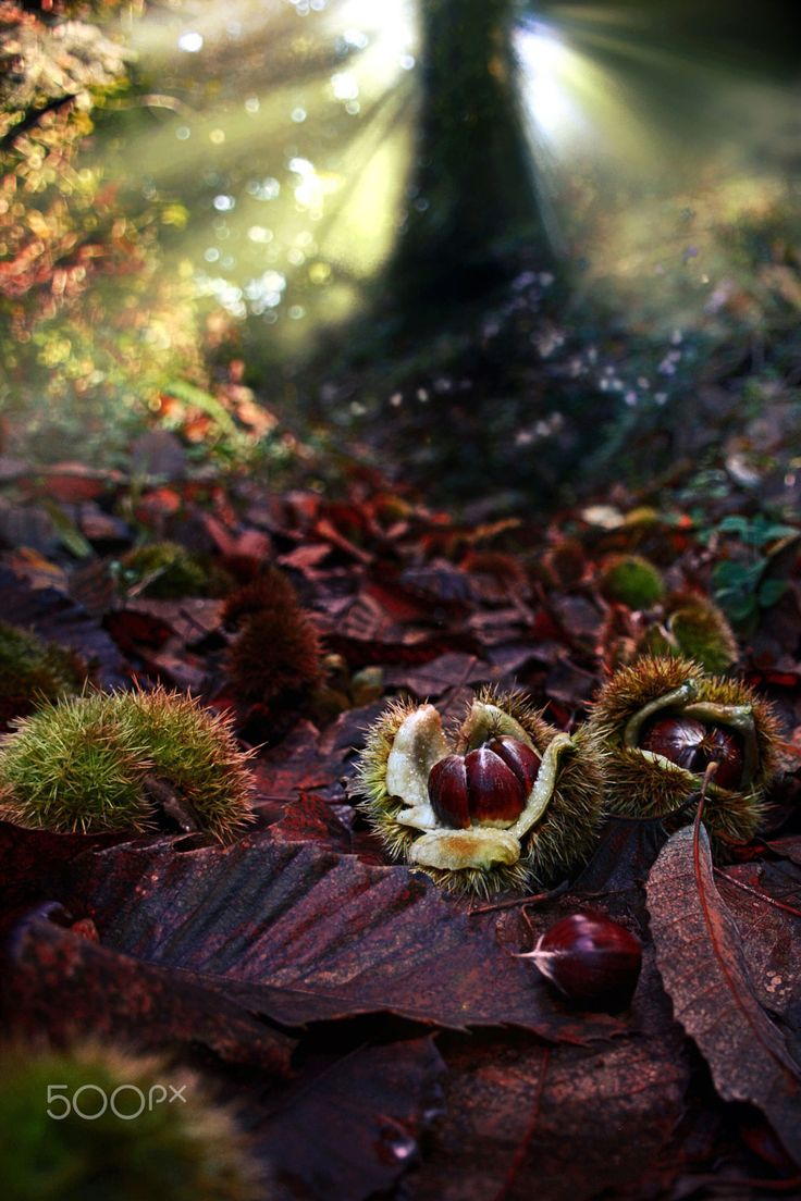 nature | Chestnuts in autumn.. | by MakisBitos | http://ift.tt/2cAPSLK