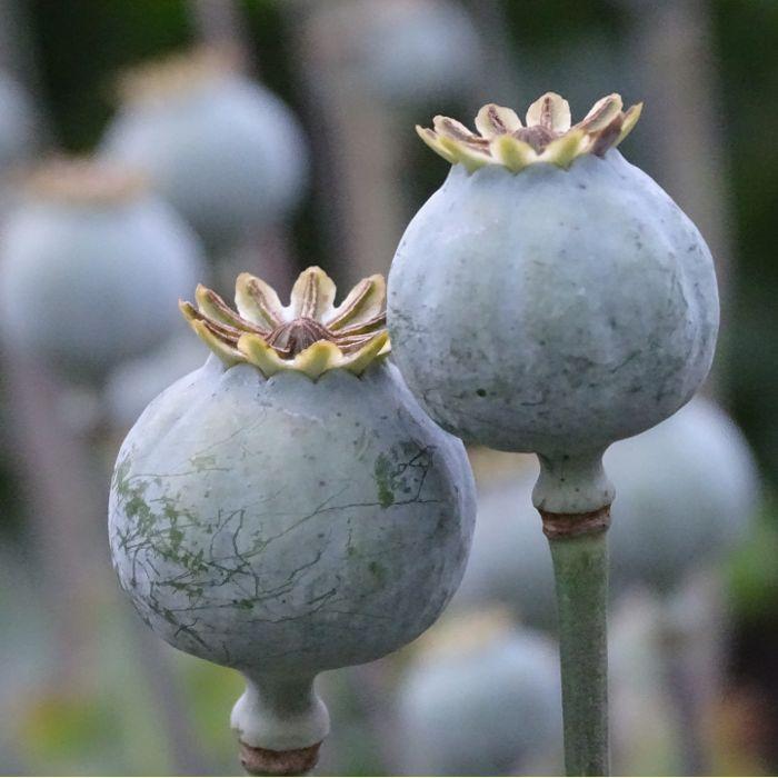 Odpověď na tuto otázku je: ANO. Mák (latinsky Papaver) je zdrojem opia, a proto je v některých zemích jeho pěstování zakázáno. Fajne jidlo všem přeje chutný den :)