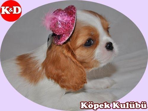 Süs Köpekleri 05323438041 http://www.kopekdunyasi.club/sayfa-kategori/175/sus-kopekleri  KÖPEK KULÜBÜ
