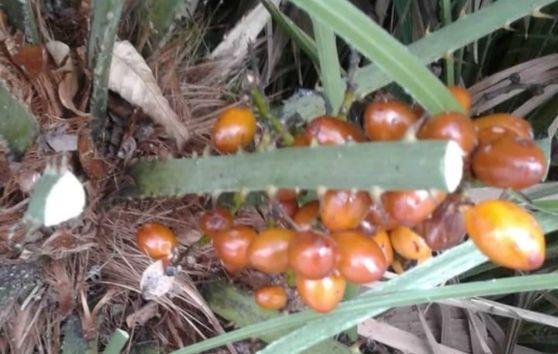 """Frutti tropicali scoperti nelle aiuole della frazione di Sistiana. E sui social c'è chi attribuisce il """"merito"""" al parroco don Ugo"""