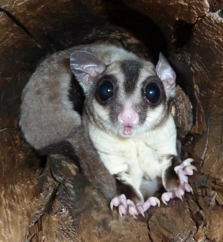 32 best Mahogany Glider images on Pinterest | Sugar gliders, Google ...