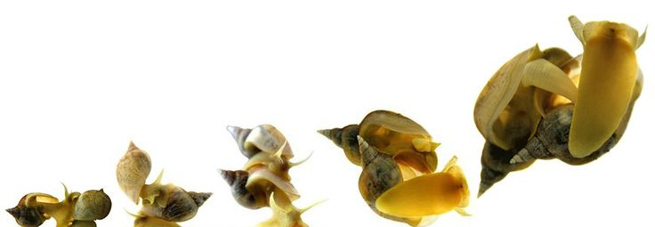 """The courtship stages of great pond snails. leading up to copulation (from left to right). The better-endowed one will become the male. But it's not the size of the shell or even the penis that determines who gets the male role, it's the size of the snails' prostate glands, which produce & store semen. When a greater pond snail has not has not ejaculated as a male for some time, seminal fluid builds up in its prostate gland, & the gland expands. """"The central nervous system gets a signal..."""