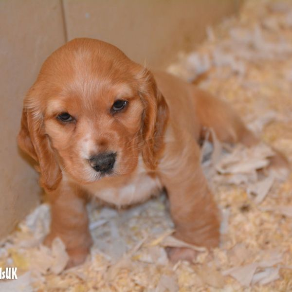 Cocker Spaniel Puppies For Sale Spaniel Puppies For Sale Cocker