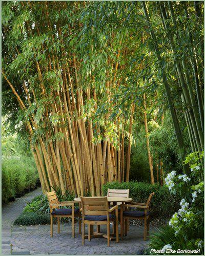 Bamboe planten Siergrassen Bamboe-hagen bamboekwekerij Kimmei Valkenswaard