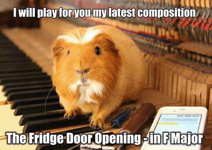 Guinea Pig meme
