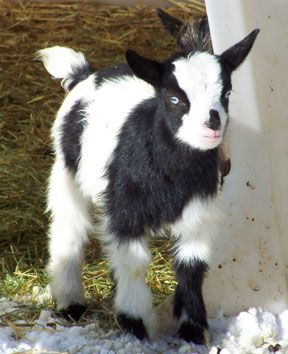A long time dream- blue eyed bw Nigerian dwarf goats. Someday...