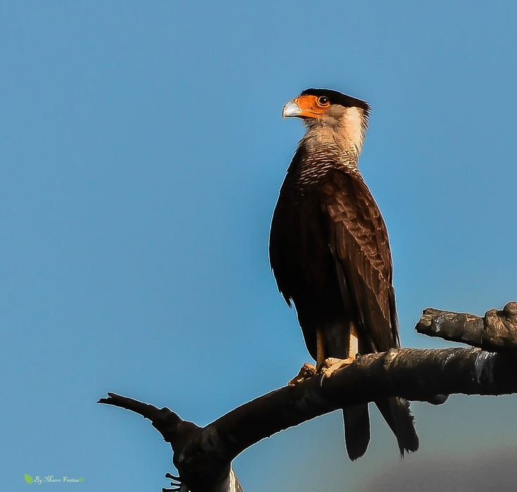 Also known as caracara, carancho, Caracaraí (Marajó Island) and hawk-of-fire, the Caracara is not taxonomically an eagle, but a distant relative of the hawks. It occurs in open grasslands, savannas, forest borders and even urban centers of major cities.