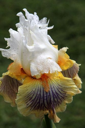 Iris | Flickr - Photo Sharing!