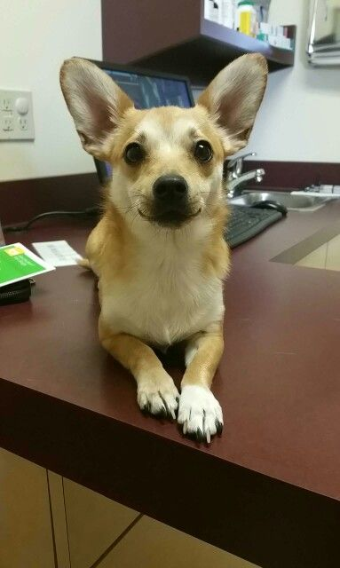 Corgi & chihuahua mix puppy!