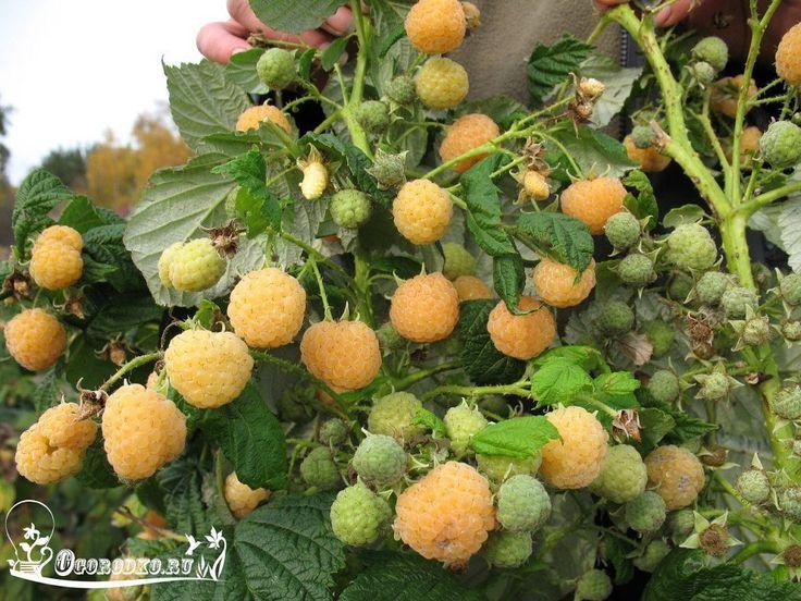 Малина желтая — зря не сажаете.    Малина желтая – абсолютная редкость в наших садах. Отменным вкусом, оригинальностью окраски, урожайностью, ценностью ягод – так характеризуется малина желтая.    Сегодня желтоплодная малина привлекает к себе все больший и больший интерес. Биохимический состав ее плодов отличается некоторыми особенностями: по сравнению с красной и черной малиной в желтых ягодах содержится намного больше сахаров и гораздо меньше органических кислот, а широко распространенных…