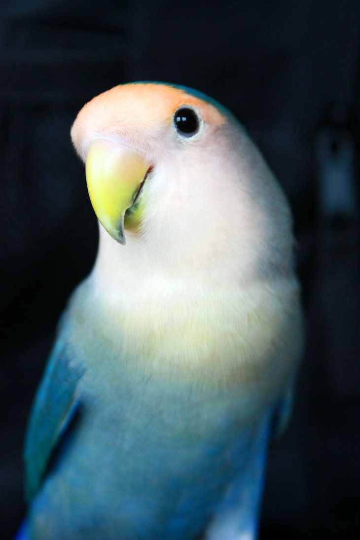 Lovebird by ~xLindarielx on deviantART