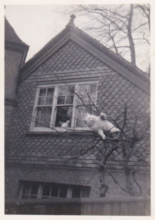 Cat wrestles with tree, c. 1960's.