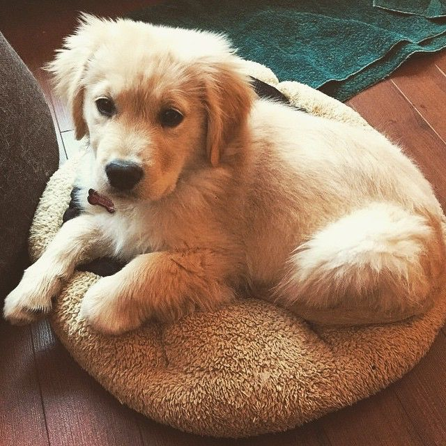 Adorable Baby Golden Retriever