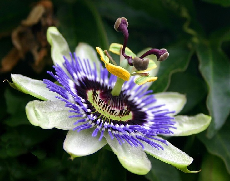 53 best oklahoma wildflowers images on pinterest oklahoma native how to grow passion flowers publicscrutiny Image collections