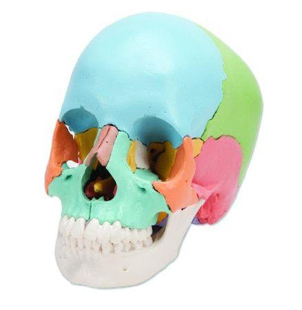best 20+ sphenoid bone ideas on pinterest   facial bones, anatomy, Sphenoid