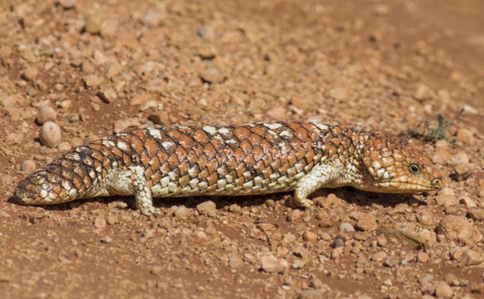 アオジタトカゲの生態と飼育方法 人気の種類やなつく性格なの Woriver トカゲ エリマキトカゲ ブリード