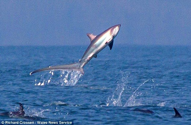 A thresher shark was spotted leaping through the air off the Pembrokeshire coast in Wales.