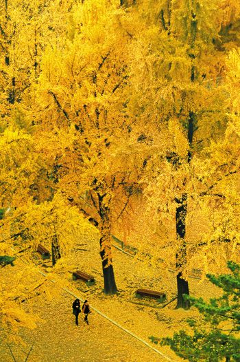 Gingko trees in Autumn. Deoksu Palace (Seoul).