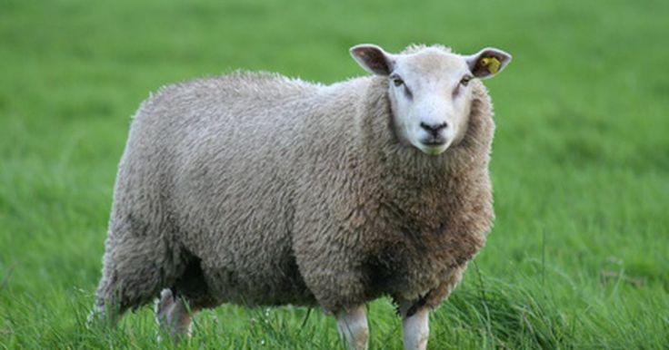 Qué tipo de cerca se necesita para las ovejas. Una cerca para ovejas apropiada brinda mayor control animal. Las ovejas se quedan en el área que designes, permitiendo mejorar el control de parásitos y la rotación de pastos. También se puede controlar la dieta limitando el área donde las ovejas se pueden alimentar. La cerca para ovejas también las previene de depredadores como lobos y coyotes. ...