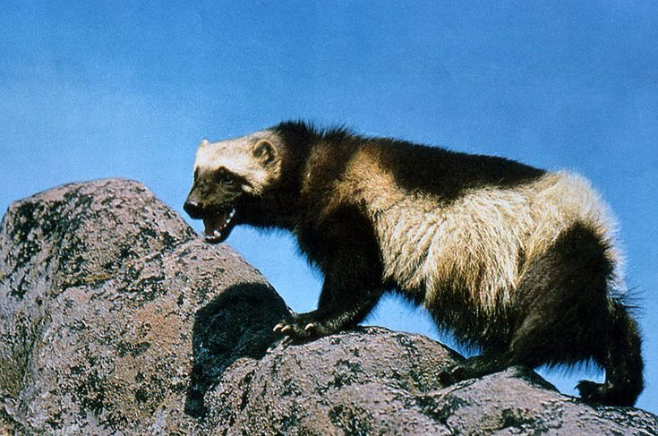 Wolverine on rock - Gulo gulo — Wikipédia_Glouton d'Amérique du Nord.