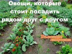 Овощи, которые стоит посадить рядом друг с другом.    1. Чудесное трио: кукуруза, горох и тыква. Секрет их совместного выращивания знали ещё американские индейцы. Кукуруза даст опору гороху, который насыщает почву азотом. А тыква в свою очередь не даёт расти сорнякам.    2. Ещё одно удачное сочетание: лук и морковь. Лук спасает морковь от вредителей, так как выделяет вещество (аллицин), обладающее инсектицидным и фунгицидным действием.    3. Помидоры и базилик - не только удачно...